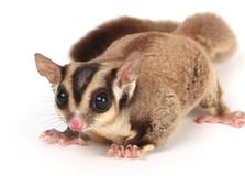 Sugar glider. A small brown furry sugar glider Stock Images