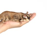 Sugar glider. On white background royalty free stock images