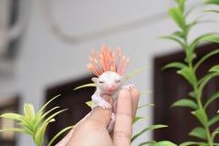 Sugar Glider Photos libres de droits