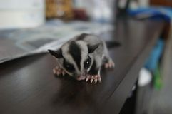 Sugar Glider royalty-vrije stock fotografie