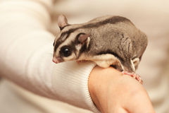 Sugar glider, arboreal gliding possum seats on the hand. Sugar glider. Petaurus breviceps, arboreal gliding possum seats on woman hand Royalty Free Stock Images