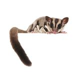 Sugar Glider. Australian pet isolated over white Stock Photos