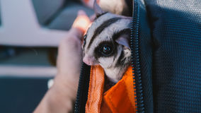 Sugar Glider in backpack. Royalty Free Stock Photo