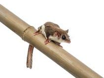 Sugar glider on a branch - Acrobates pygmaeus Stock Photography