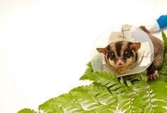 Sugar-glider on callar Stock Image