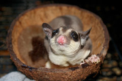 Sugar Glider Coconut Royalty Free Stock Image