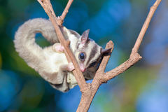 Sugar glider on dry branches Royalty Free Stock Image
