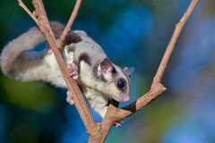 Sugar glider on dry branches. Tree stock images