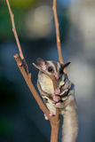 Sugar glider on dry branches Stock Photo