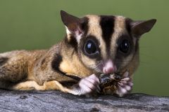 Sugar glider eating a cricket Stock Photos