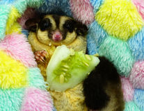 Sugar glider eating cucumber Stock Photos