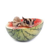 Sugar glider  enjoy eating watermelon. Isolated on white Royalty Free Stock Photo