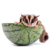 Sugar glider  enjoy eating watermelon Royalty Free Stock Images