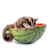 Sugar glider  enjoy eating watermelon. Isolated on white Royalty Free Stock Image