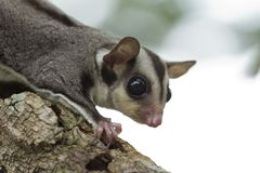 Sugar glider,Flying squirrel Royalty Free Stock Images