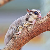 Sugar glider. Is a flying squirrel which in the conservation Stock Photos