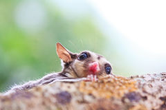 Sugar glider. Is a flying squirrel which in the conservation stock images