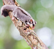 Sugar glider Stock Images