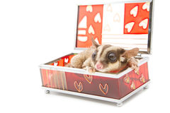 Sugar glider in glass box Royalty Free Stock Photo