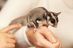 Sugar glider, gliding possum seats on hands. Sugar glider. Petaurus breviceps, arboreal gliding possum seats on hands Stock Images