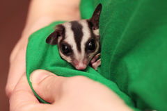 The sugar glider and green vets uniform Stock Photos