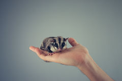 Sugar Glider in a hand. Stock Images