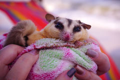 Sugar glider hand holding, Petaurus breviceps, suggie, cute pet animal Royalty Free Stock Photography