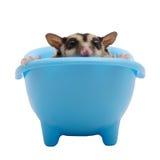 Sugar glider hide in blue bathtub. Stock Images