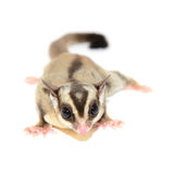 Sugar glider Royalty Free Stock Images