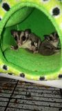 Sugar glider stock image