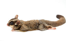 A sugar glider lying on the floor Stock Photos