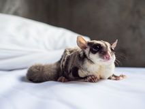Sugar Glider pequeno bonito Fotos de Stock Royalty Free