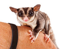 Sugar Glider Perched sur une main Photos stock
