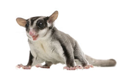 Sugar glider - Petaurus breviceps (3 years old) Royalty Free Stock Photos