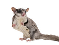 Sugar glider - Petaurus breviceps (3 years old). In front of a white background royalty free stock photo