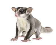 Sugar glider - Petaurus breviceps (3years old) Stock Image