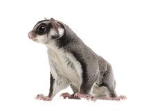 Sugar glider - Petaurus breviceps (3years old) Royalty Free Stock Photo