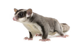 Sugar glider - Petaurus breviceps Stock Photo