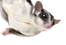 Sugar glider - Petaurus breviceps. In front of a white background royalty free stock photos