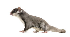Sugar glider - Petaurus breviceps Stock Photos