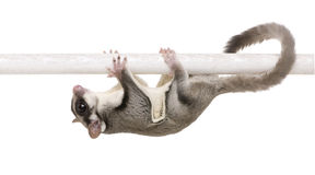 Sugar glider - Petaurus breviceps Royalty Free Stock Photos