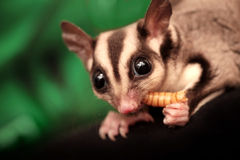 Sugar glider (Petaurus breviceps) eats larva Royalty Free Stock Photo