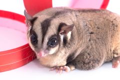 Sugar glider with red gift box.  stock photography