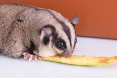 Sugar glider with red gift box.  stock images