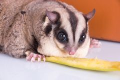 Sugar glider with red gift box.  stock photos