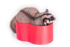 Sugar glider with red gift box.  royalty free stock images