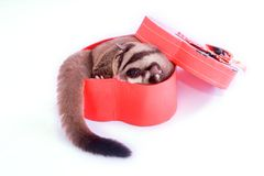 Sugar glider with red gift box.  royalty free stock photos