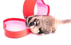 Sugar glider with red gift box.  royalty free stock photography