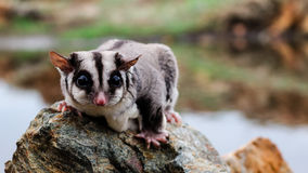 Sugar glider on a rock. Sugar glider alone on a rock Stock Image