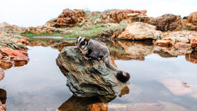 Sugar glider on a rock Stock Photography